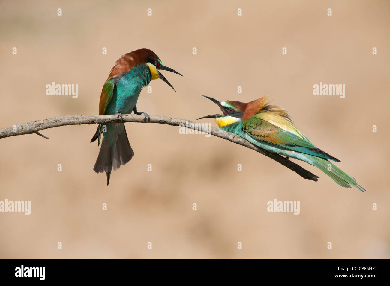 European Bee-eater (Merops apiaster), two perched on stick squabbling, Spain - Stock Image