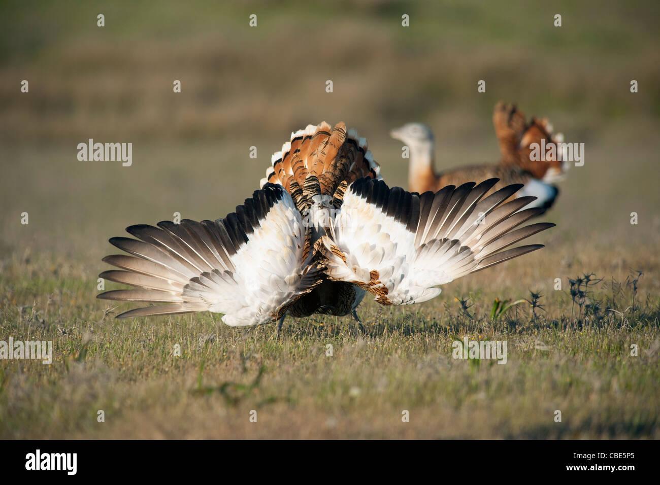 Great Bustard (Otis tarda), male displaying, Spain - Stock Image