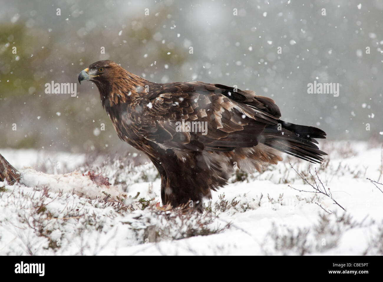 Golden Eagle (Aquilac hrysaetos), feeding on carrion, in winter, Northen Europe - Stock Image