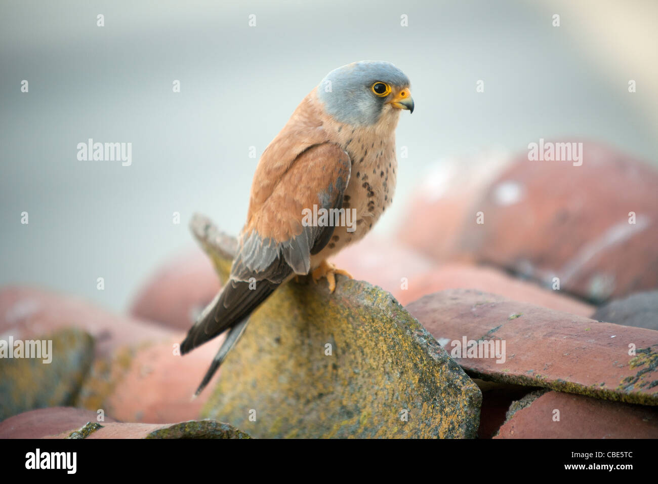 Lesser Kestrel (Falco naumanni), male perched on roof, Spain - Stock Image