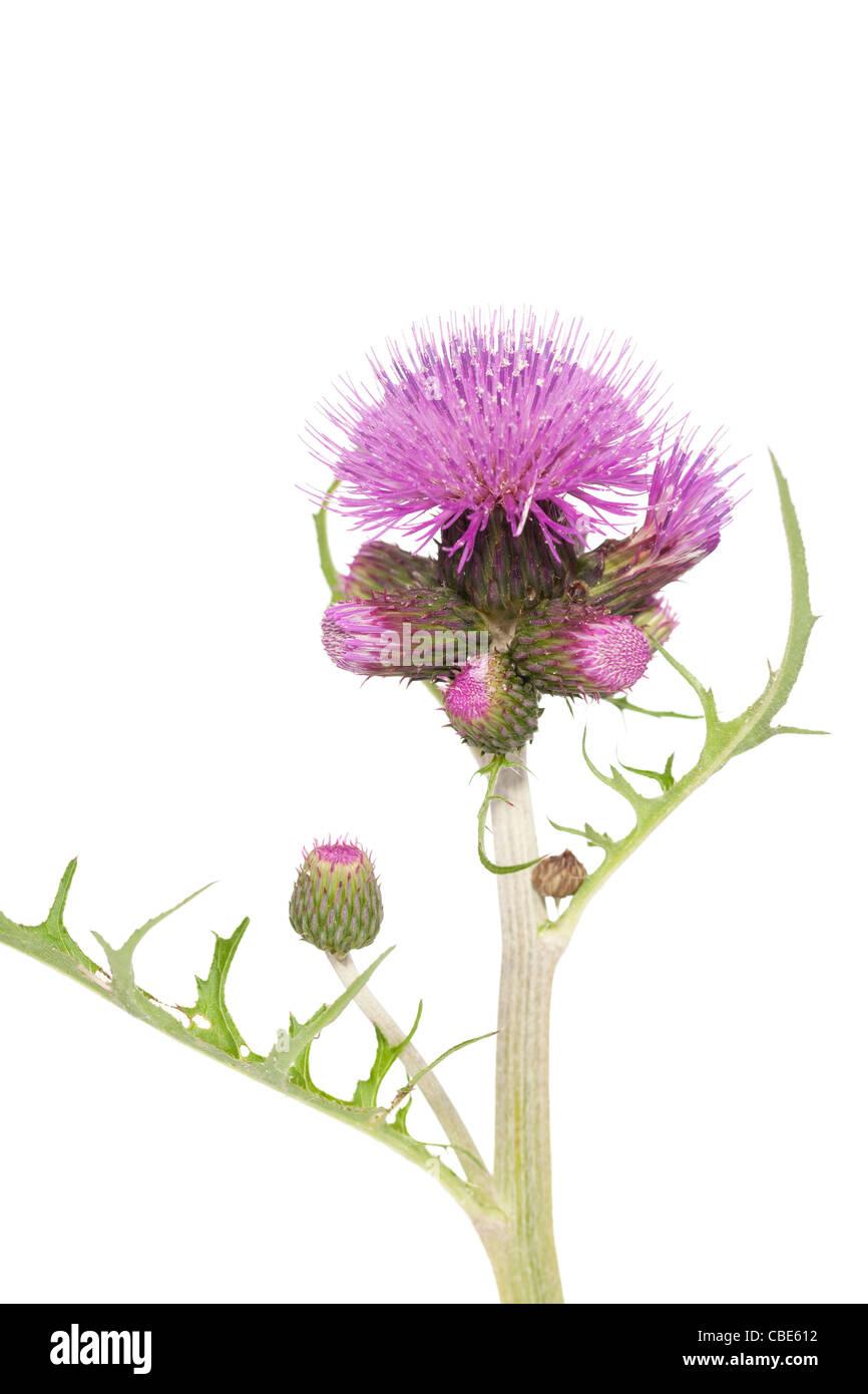 purple prickly flower thistle on white background - Stock Image
