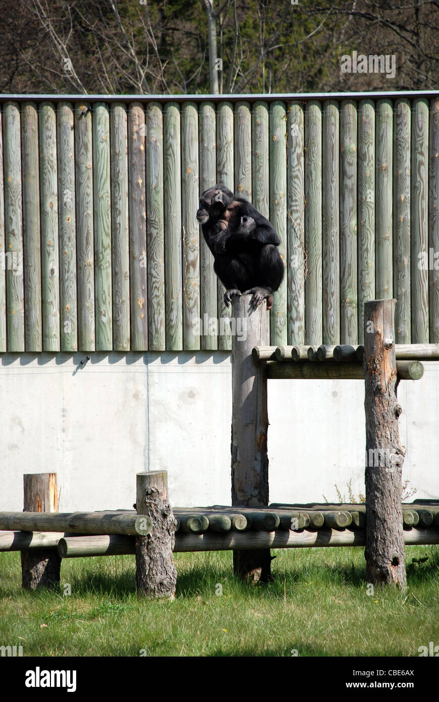Zoo Life - Chimpanzee Sitting at the Top of Fence - Stock Image