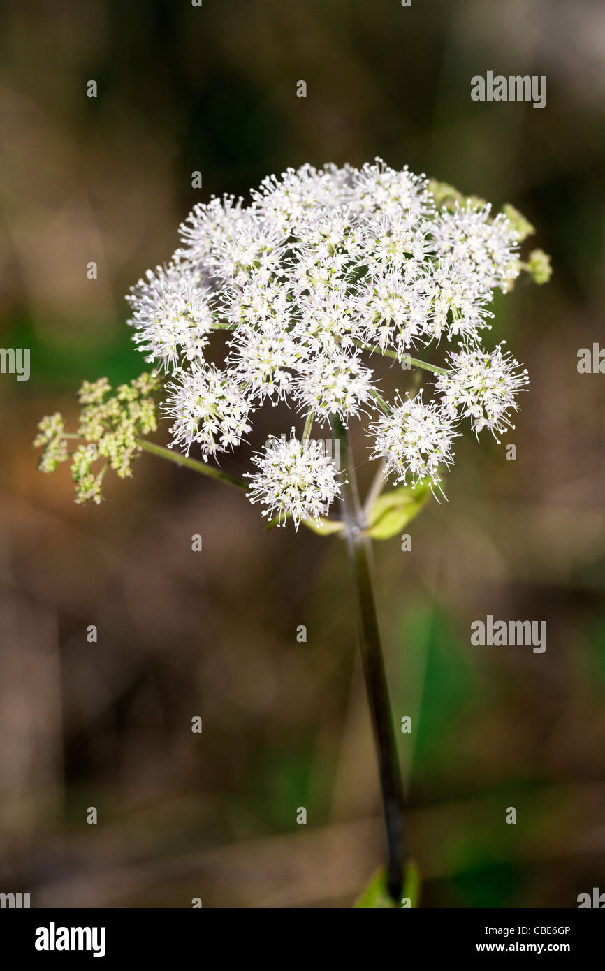 Wild Angelica Angelica sylvestris close-up of flower head - Stock Image