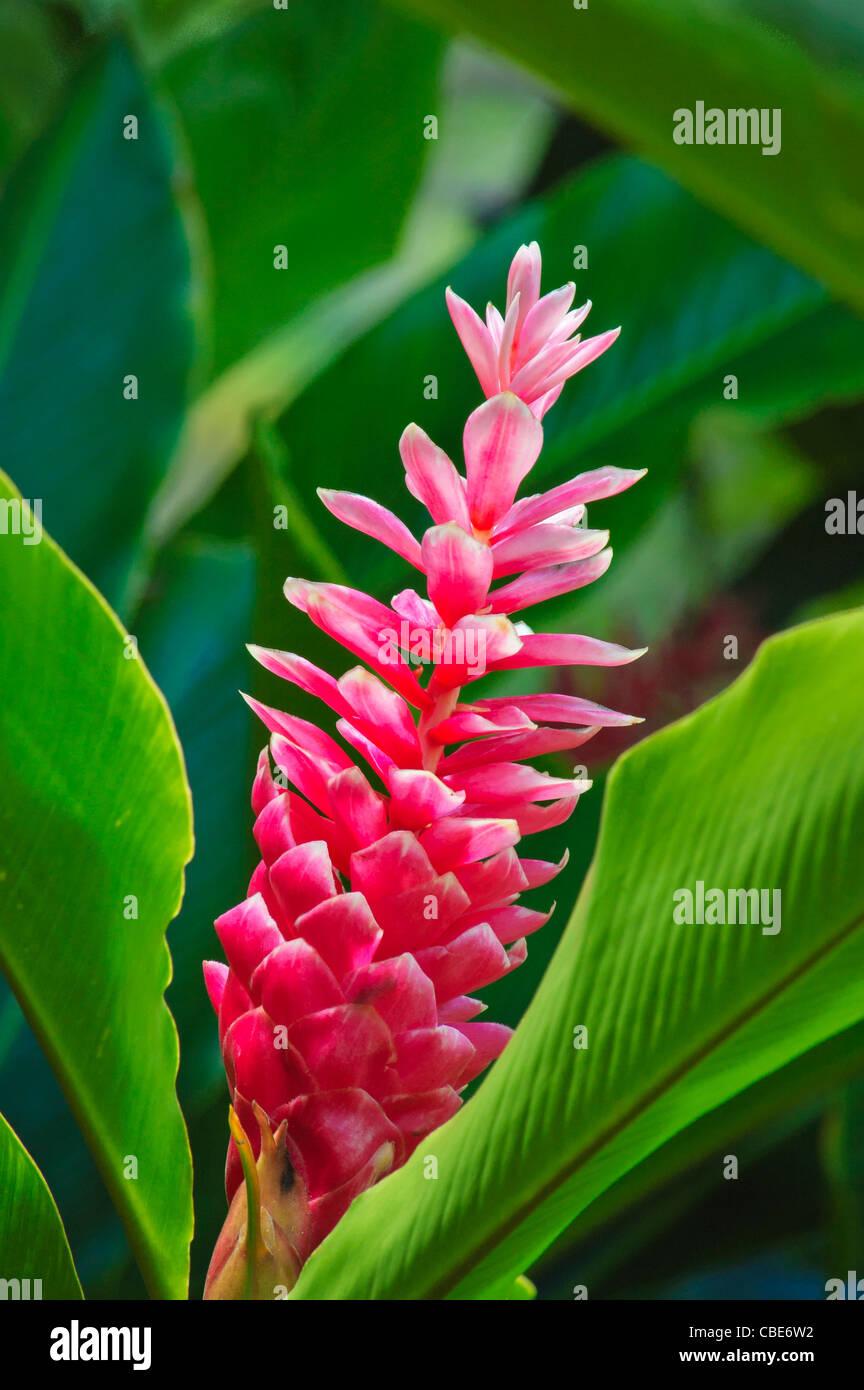 Pink Ginger (Alpinia sp. hybrid) in McBryde Garden section of National Tropical Botanical Garden, Lawai Valley, - Stock Image