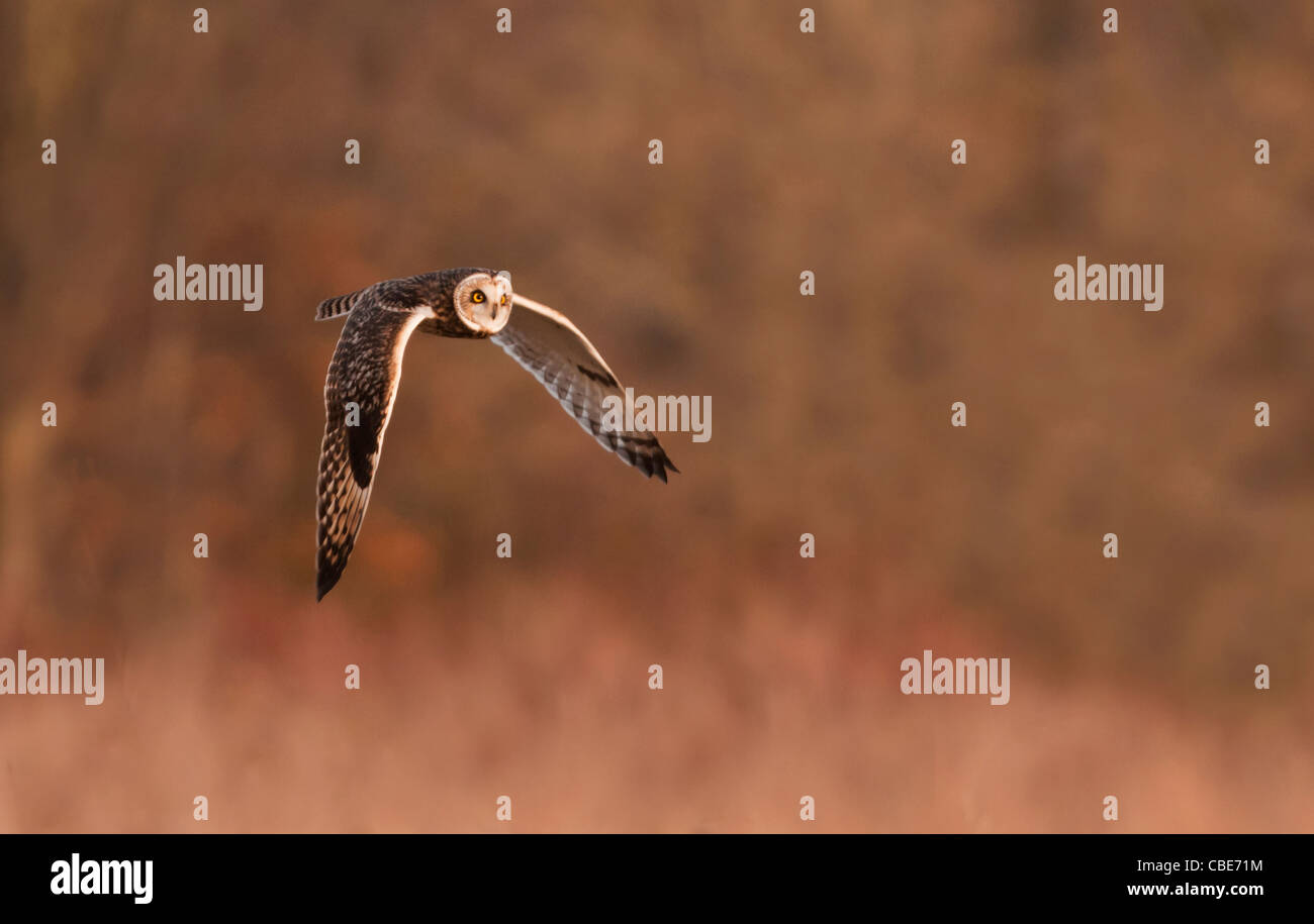Wild Short Eared Owl hunting over rough grasslands in Leicestershire - Stock Image