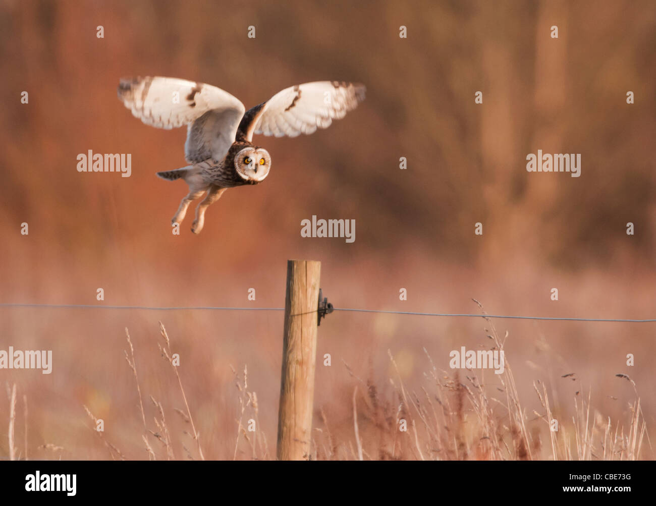 Wild Short Eared Owl about to land on wooden post on grasslands in Leicestershire - Stock Image