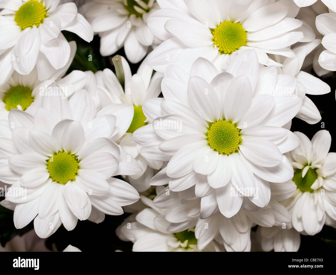 White Chrysanthemum Flowers Stock Photos White Chrysanthemum