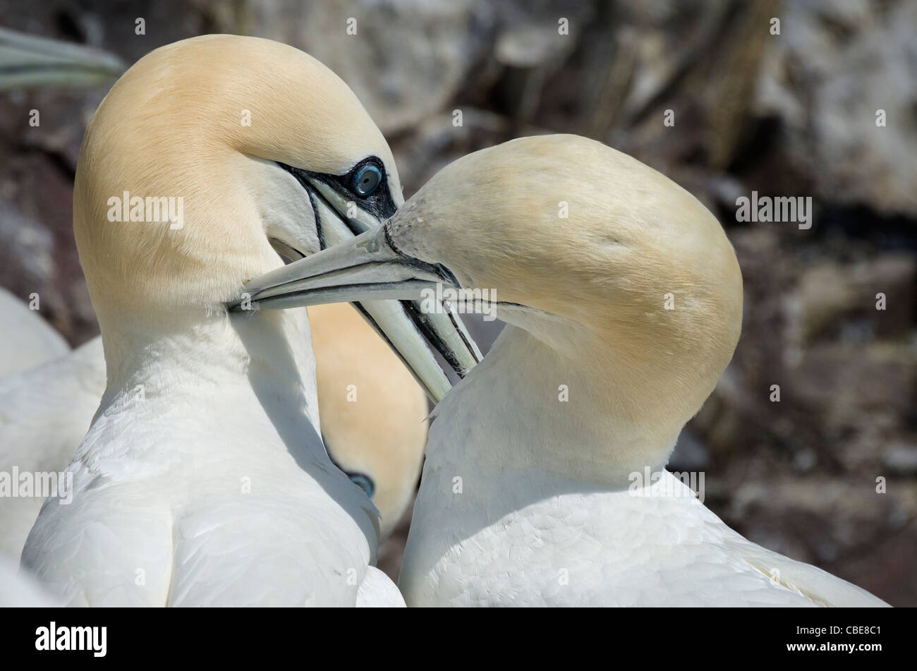 Gannets grooming - Stock Image