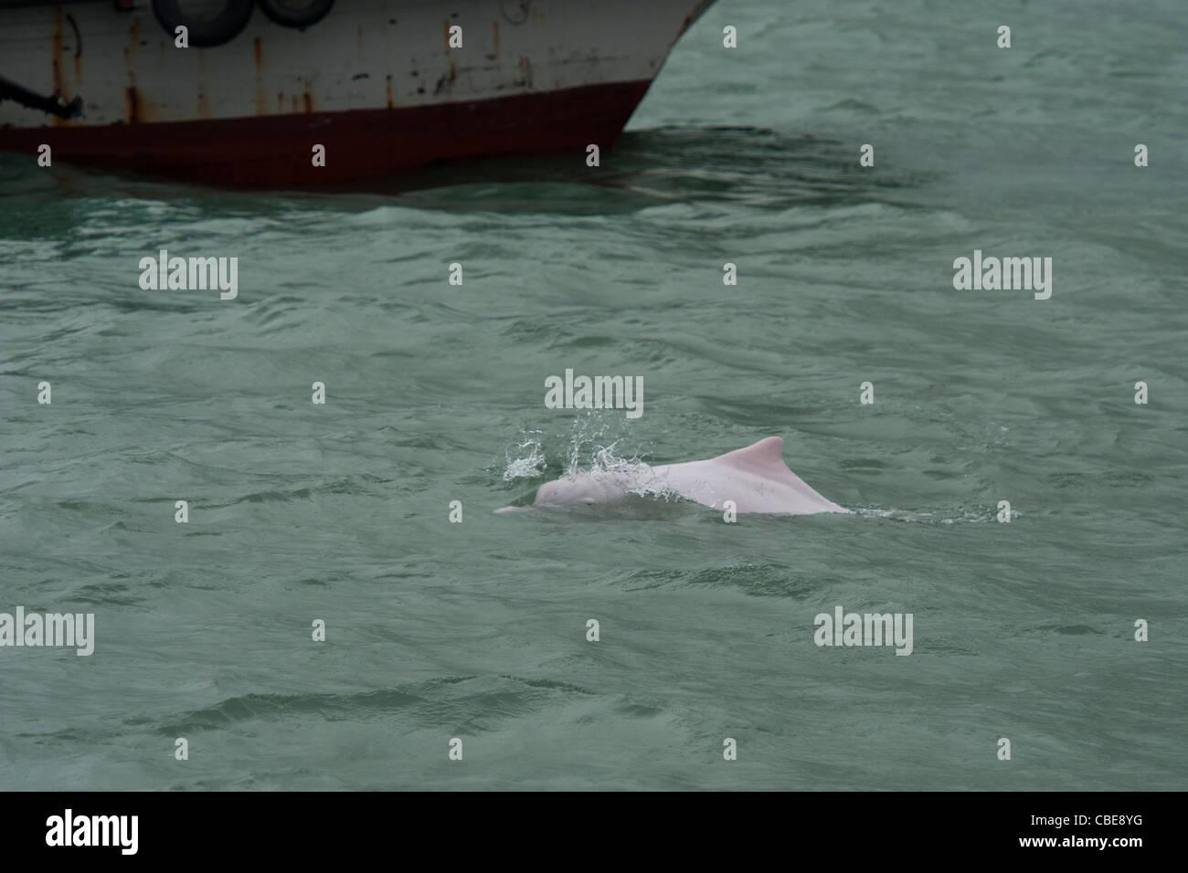 Indo-Pacific Humpback Dolphin (Sousa chinensis), avoiding boat-traffic. Hong Kong, Pearl River Delta. - Stock Image