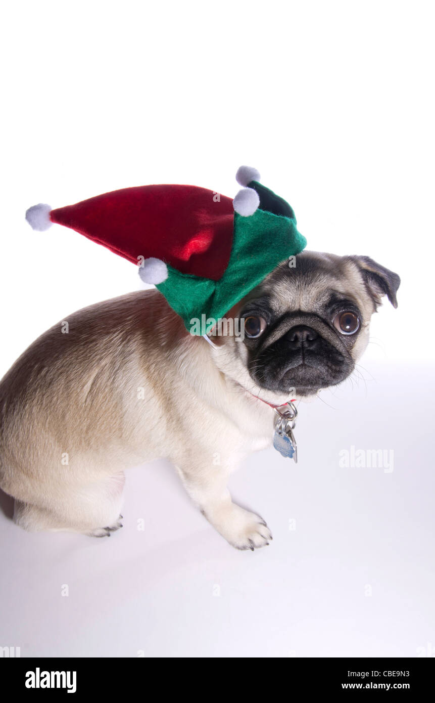 A 10 month old Chinese pug dog wearing an elf hat. - Stock Image