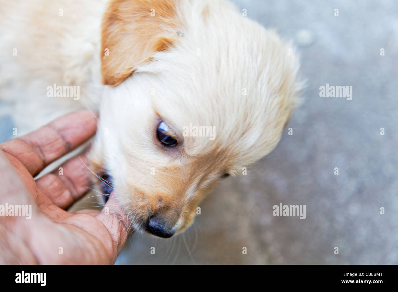 angry but playful Labrador golden retriever puppy biting a mans fingers, landscape horizontal with crop margins Stock Photo