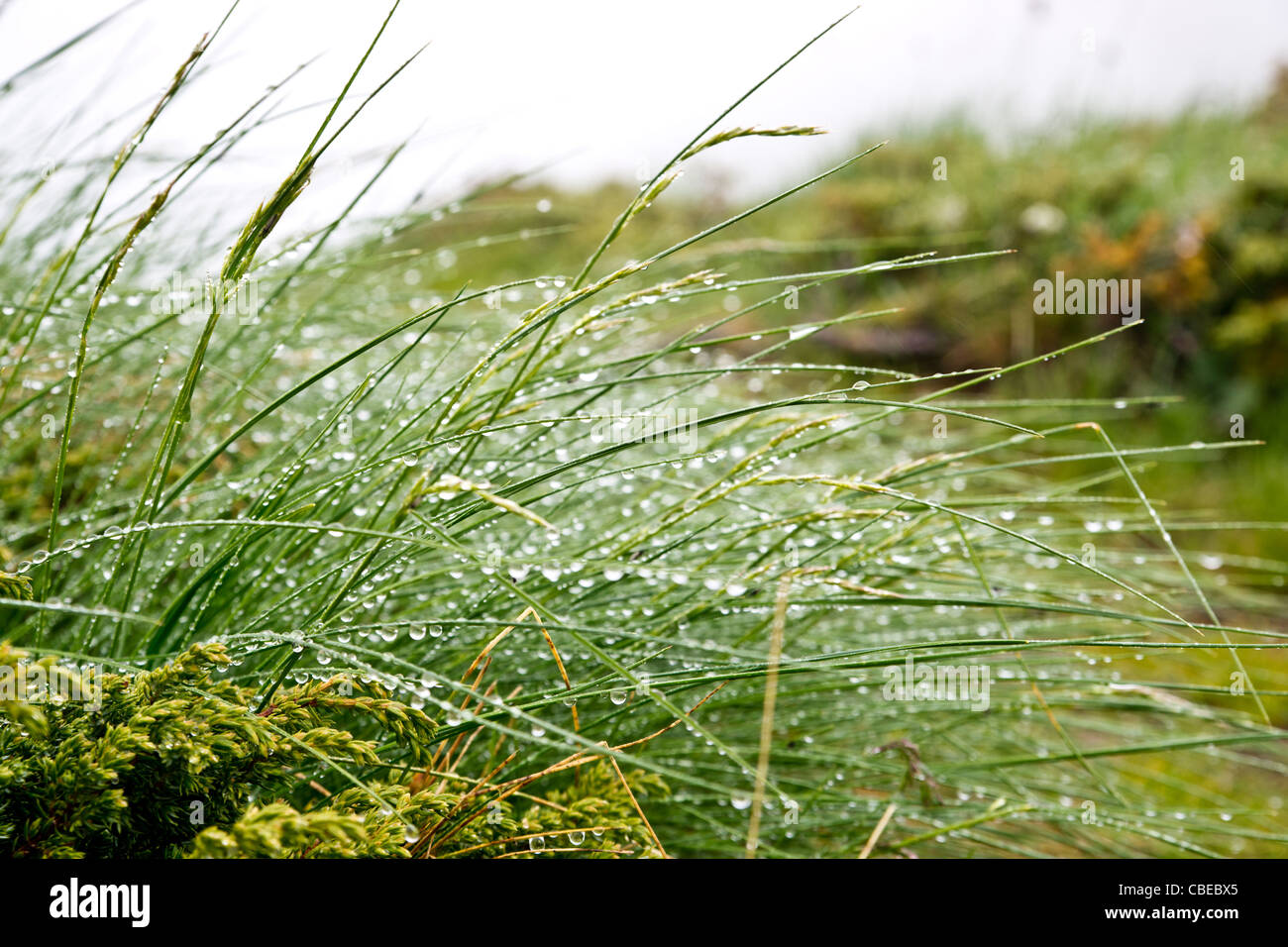 Drops of dew on blades of grass - Stock Image