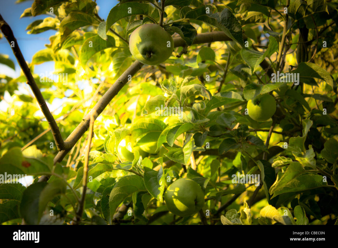 Apple tree in summer - Stock Image