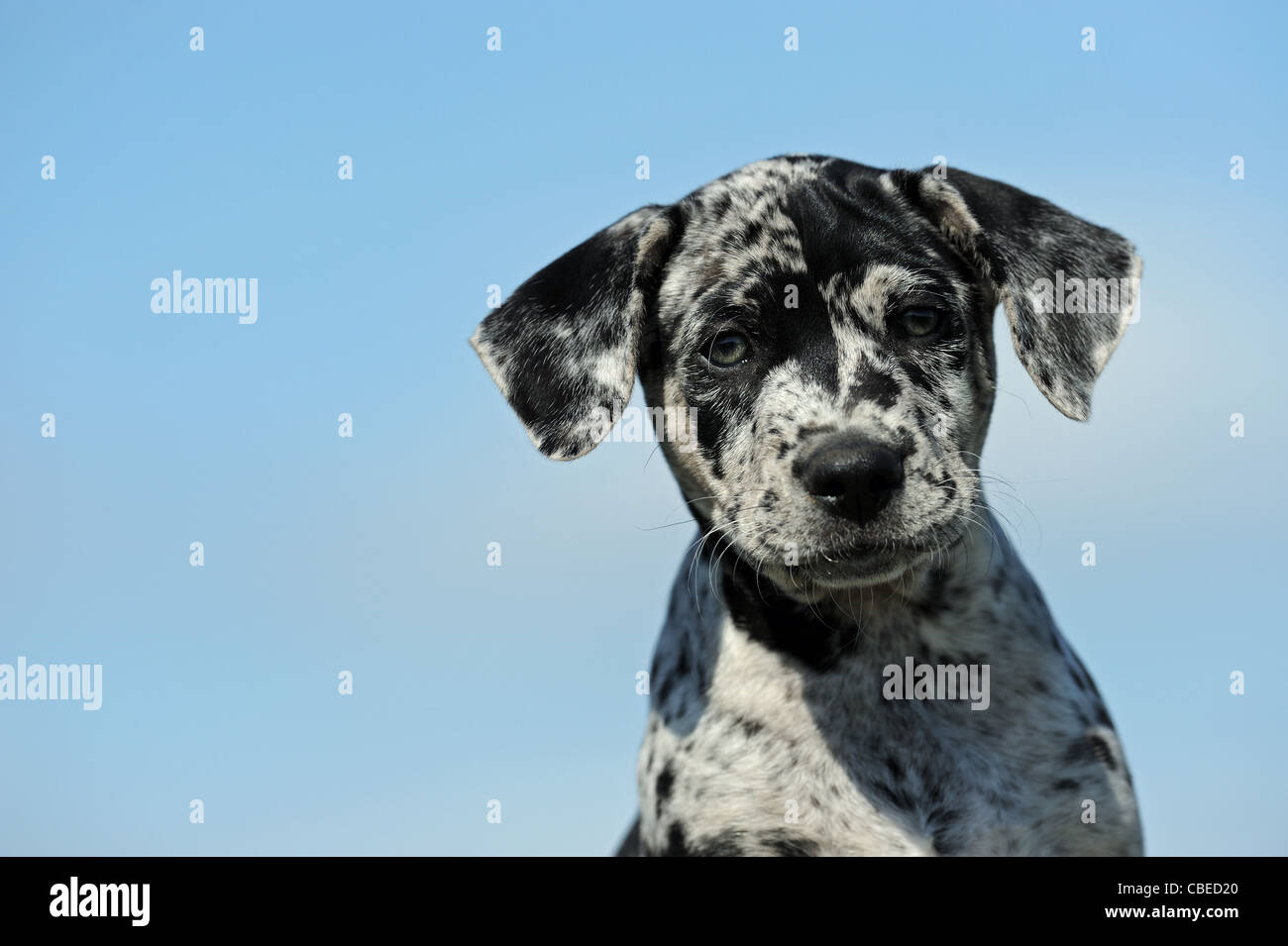 Louisiana Catahoula Leopard Dog (Canis lupus familiaris). Portrait of a puppy. - Stock Image