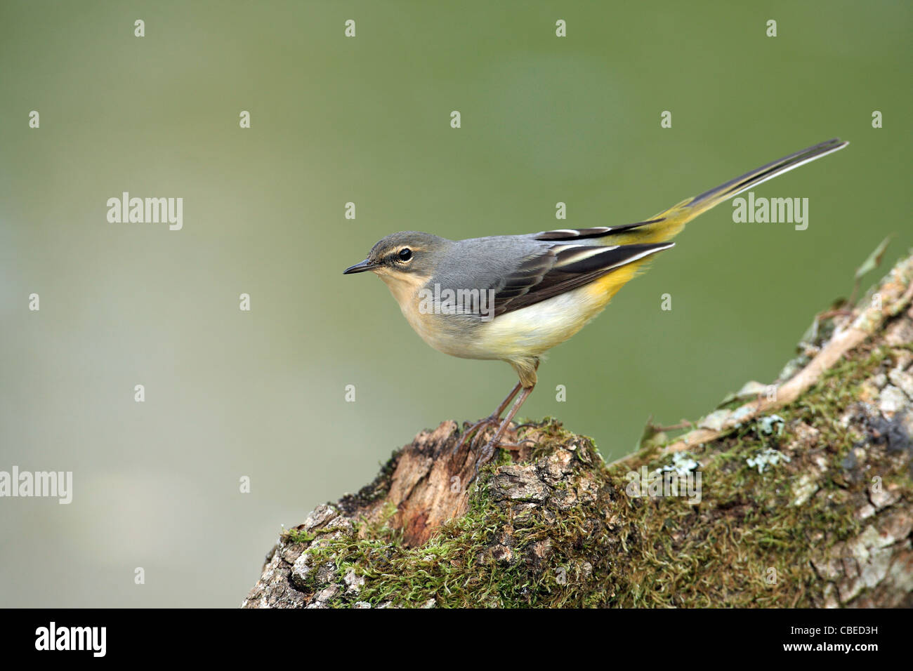 Grey Grey Wagtail (Motacilla cinerea). Juvenile standing on a mossy log. - Stock Image