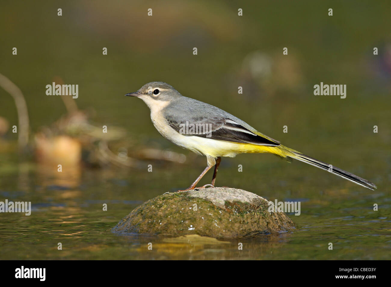 Grey Grey Wagtail (Motacilla cinerea) foraging in a flowing stream. - Stock Image