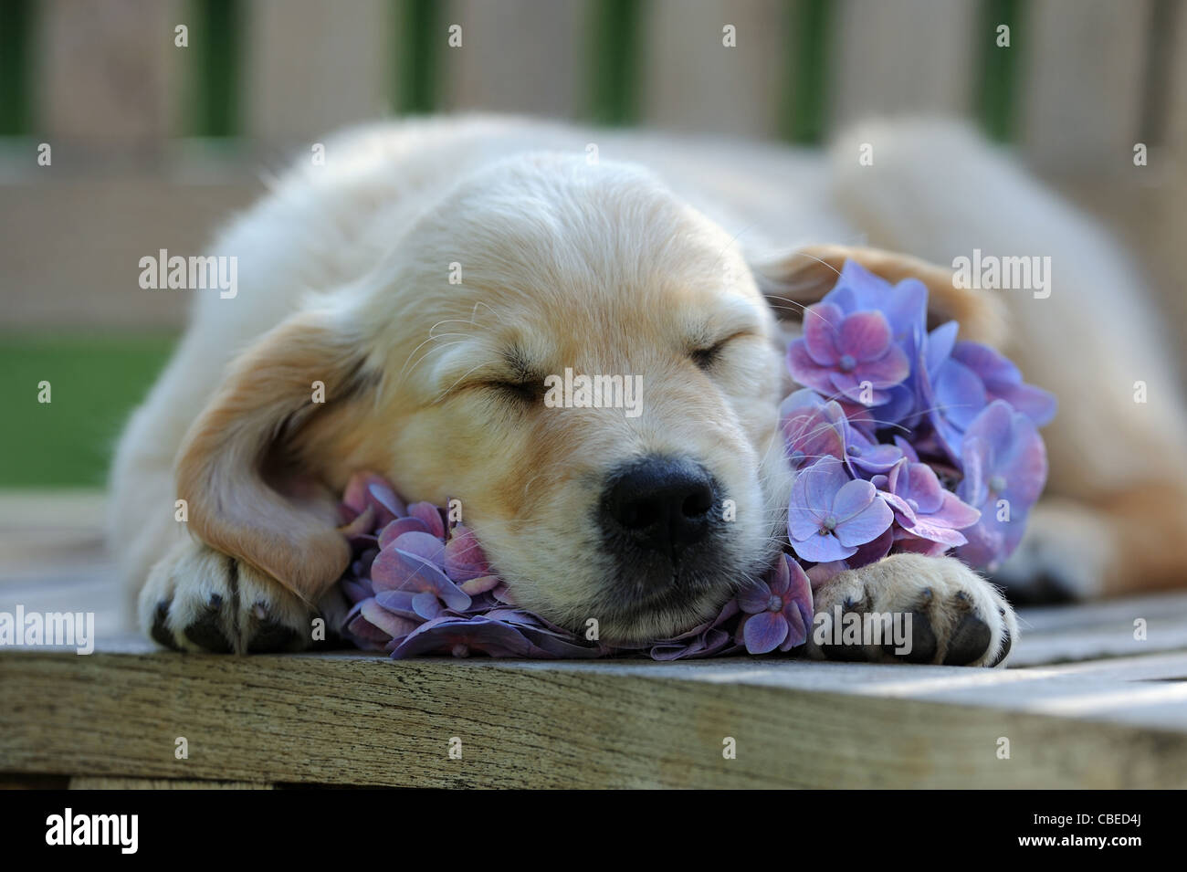 Golden Retriever (Canis lupus familiaris). Puppy sleeping on a blue Hydrangea flower. - Stock Image