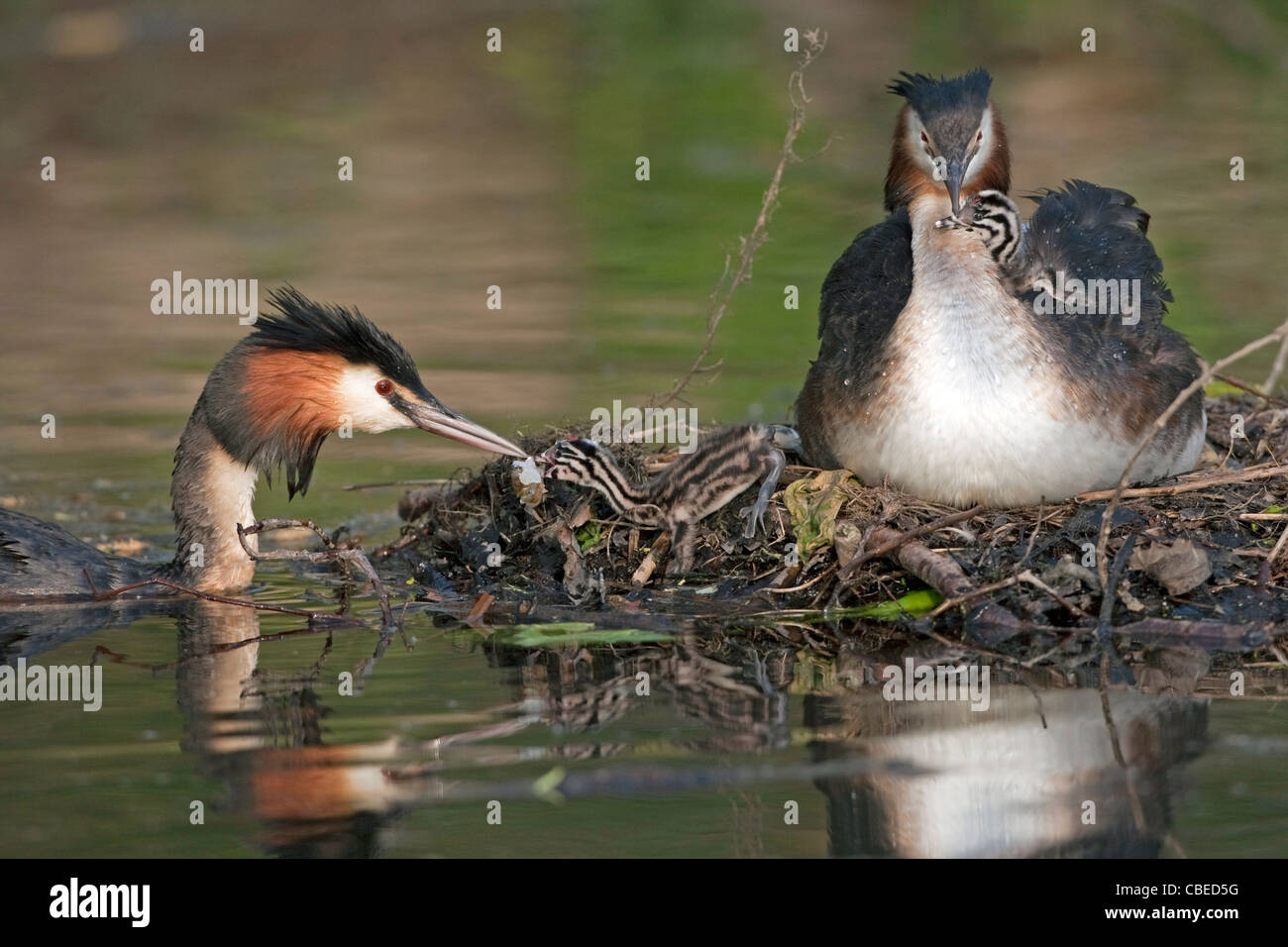 Great Crested Grebe (Podiceps cristatus). Adult feeding chicks on nest. - Stock Image