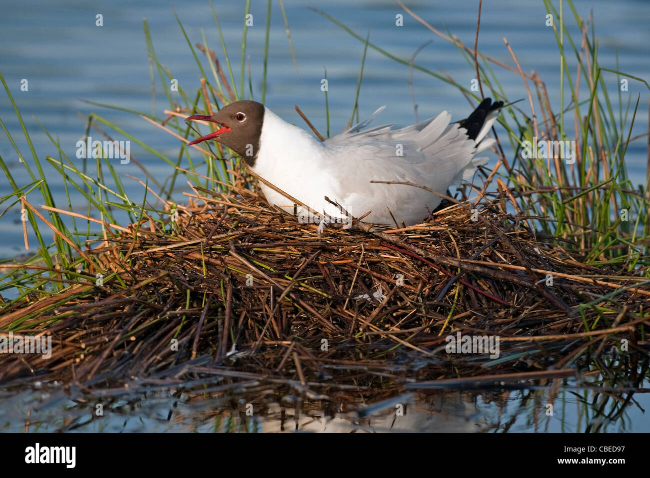 Black-headed Gull (Larus ridibundus), adult on nest, calling. Grote peel National Park, Netherlands. - Stock Image