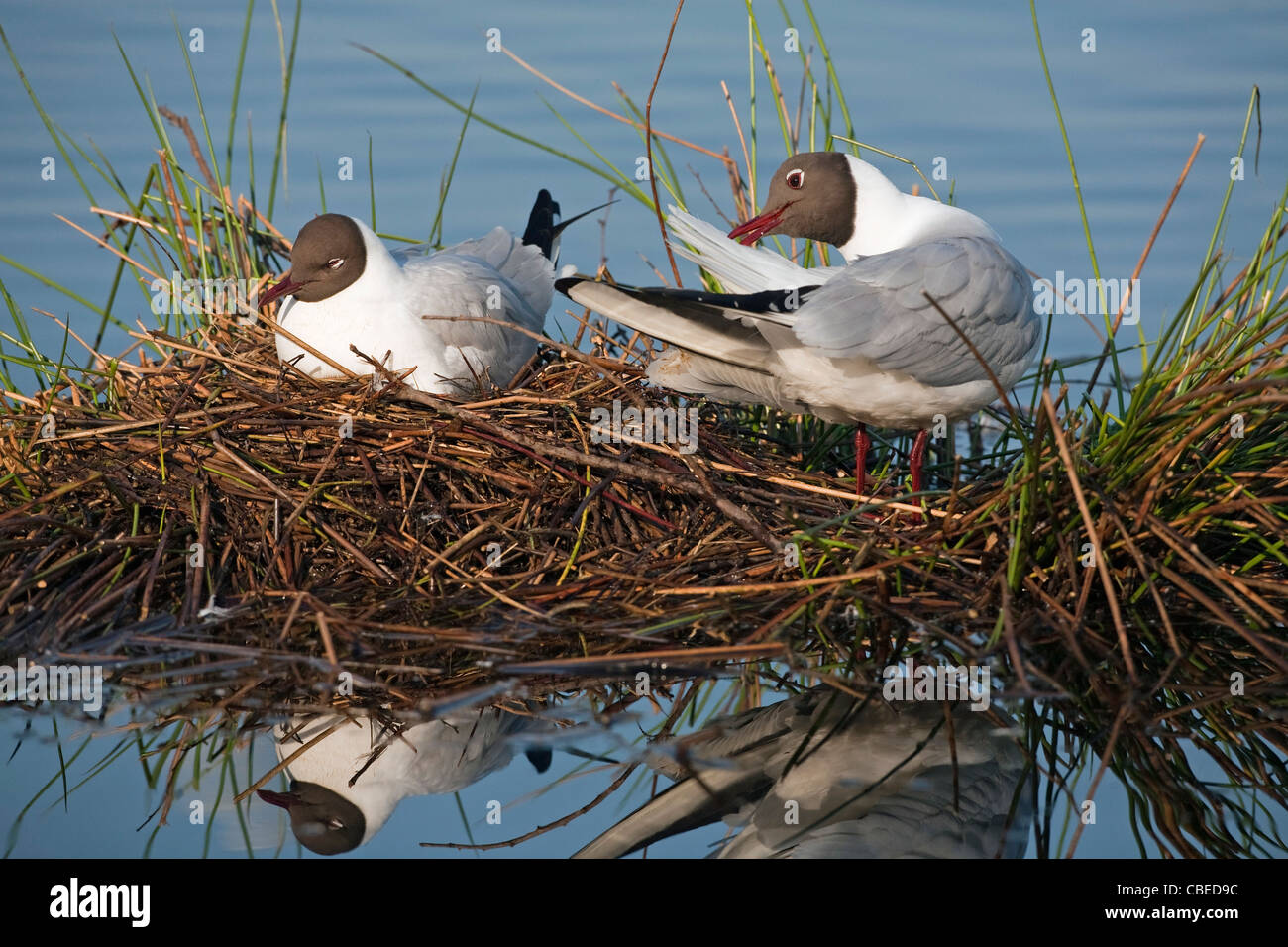 Black-headed Gull (Larus ridibundus), pair at nest. One sleeping, one preening. Grote peel National Park, Netherlands. - Stock Image