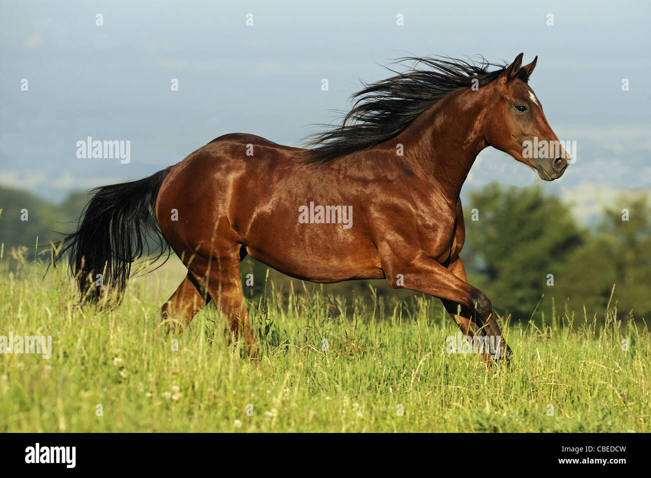 Quarter Horse (Equus ferus caballus). Bay stallion in a gallop on a meadow. - Stock Image