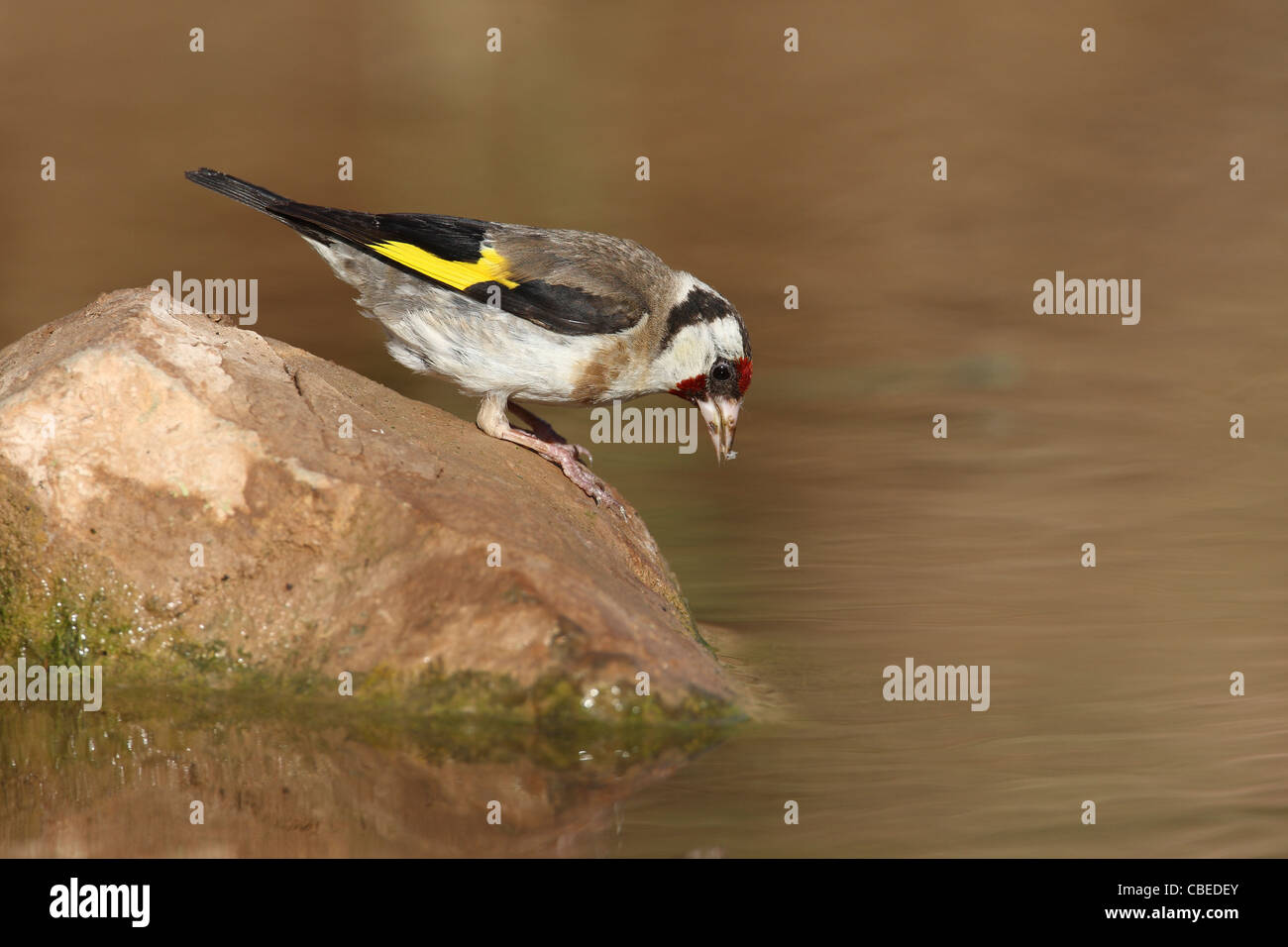 European Goldfinch (Carduelis carduelis). Adult drinking. Stock Photo