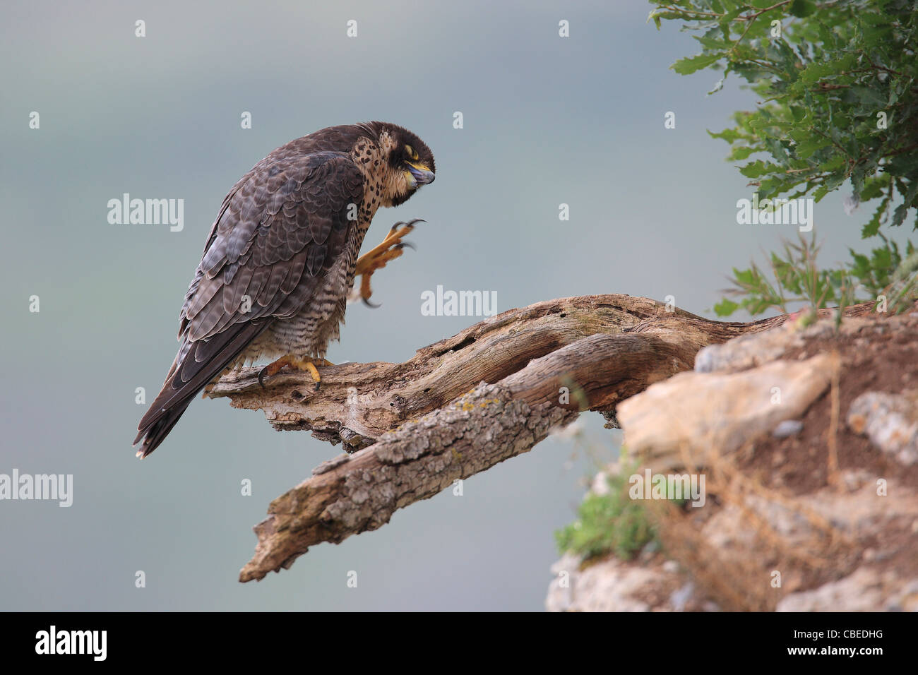 Peregrine Falcon (Falco peregrinus) standing on a broken off branch while scratching. - Stock Image
