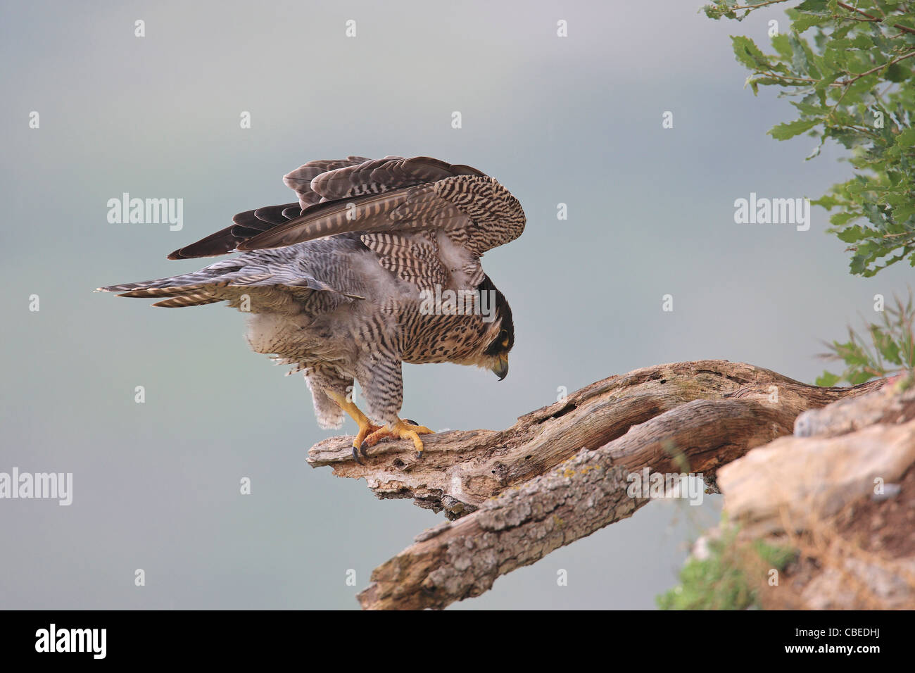 Peregrine Falcon (Falco peregrinus) standing on a broken off branch while shaking its feathers. - Stock Image