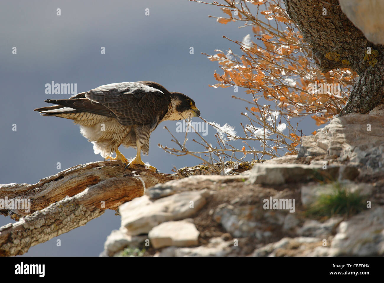 Peregrine Falcon (Falco peregrinus) standing on a broken off branch while pulling on a twig. - Stock Image