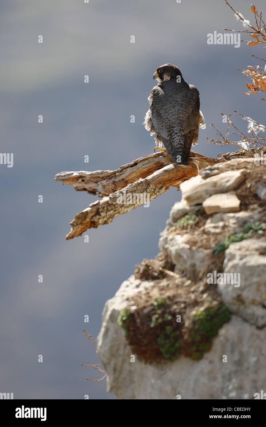Peregrine Falcon (Falco peregrinus) standing on a broken off branch. - Stock Image