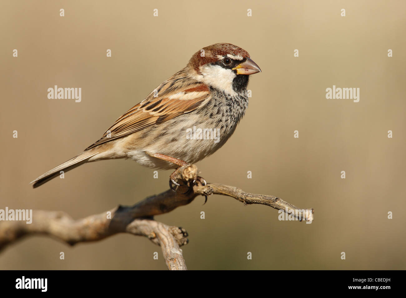 Spanish Sparrow (Passer hispaniolensis), male perched on a twig. - Stock Image