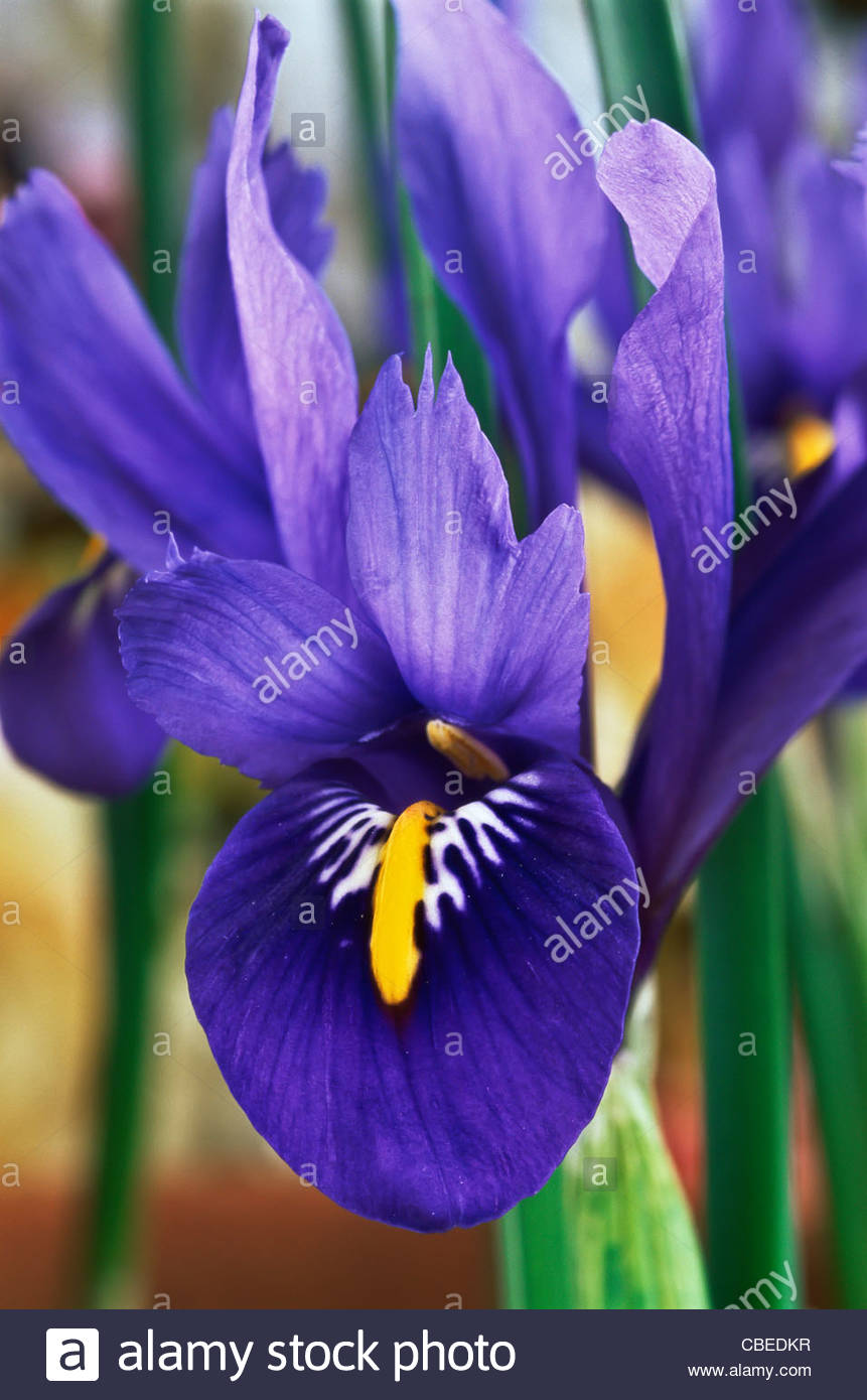 Dwarf Iris Reticulata Harmony Spring Flower Bulb Garden Plant Purple