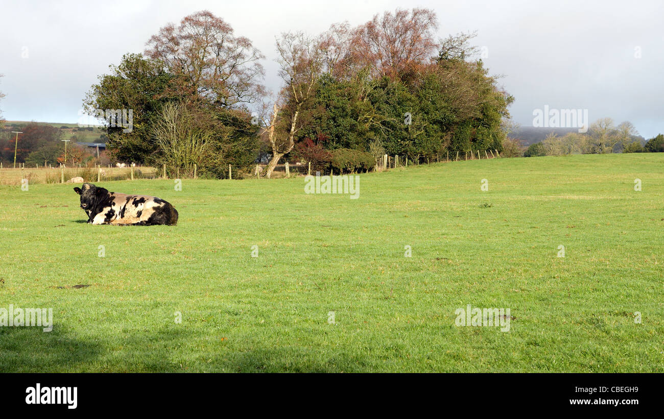 Lone breeding bull relaxes alone in a penned in field. - Stock Image