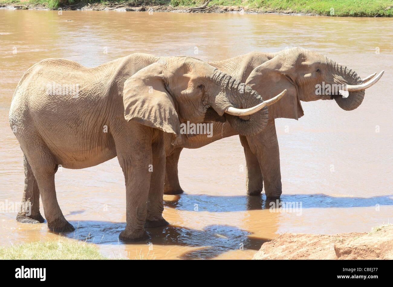 Kenya, Samburu National Reserve, Kenya, African Elephants drinking water at a watering hole - Stock Image