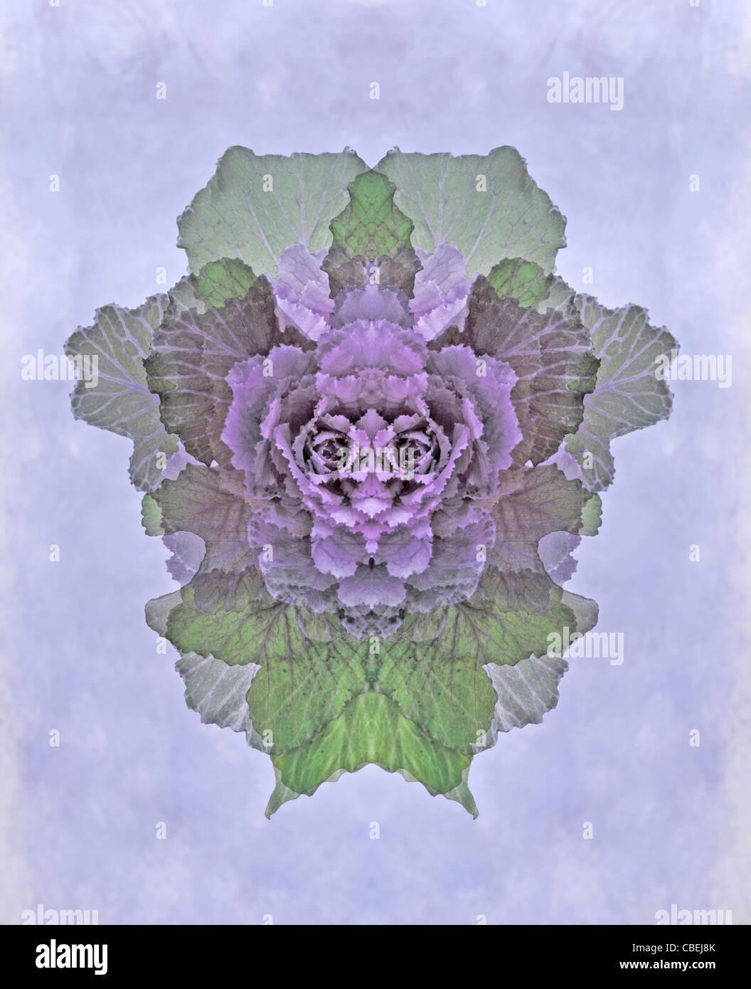 Brassica oleracea, Ornamental cabbage, Purple subject, Grey background. - Stock Image