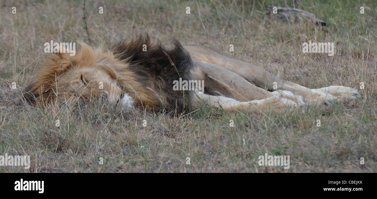 Kenya, Lake Nakuru National Park, sleeping lion - Stock Image