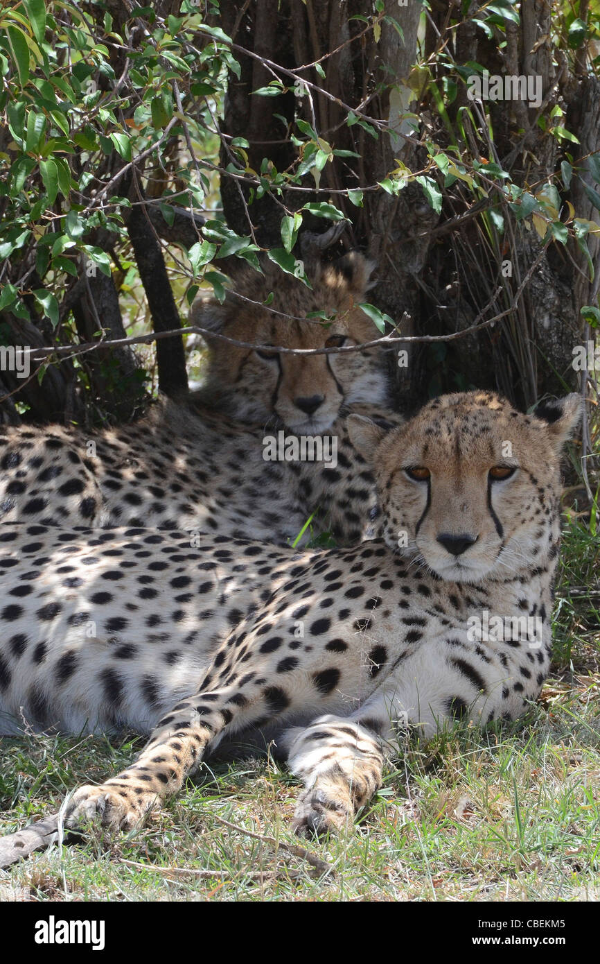 Kenya, Masai Mara, Cheetahs (Acinonyx jubatus) rests in a bush - Stock Image