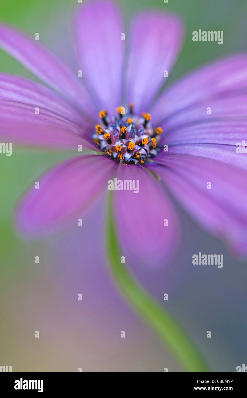 Purple daisy flowers stock photos purple daisy flowers stock osteospermum cultivar cape daisy purple flower subject stock image izmirmasajfo
