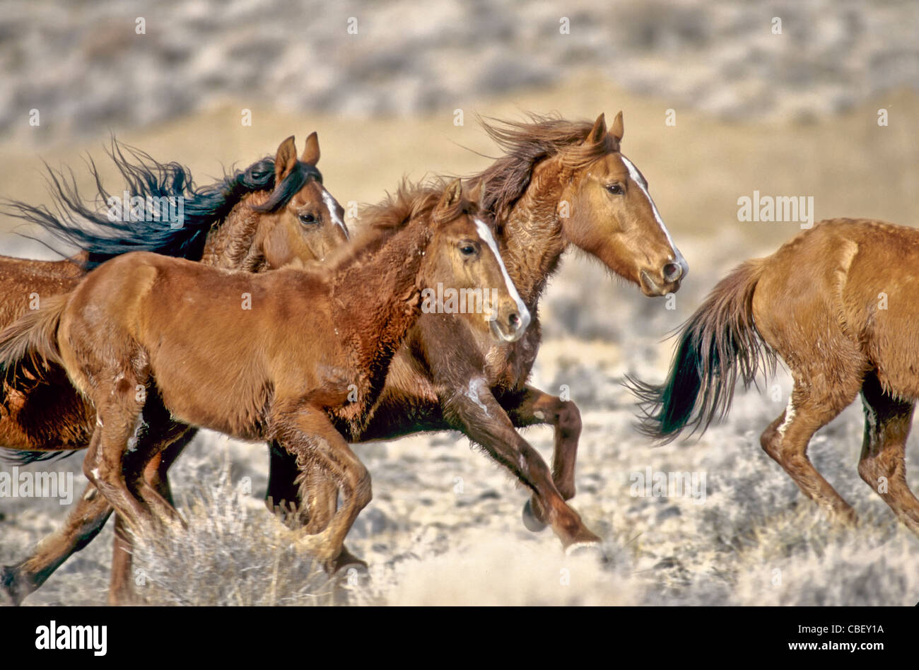 Group of wild horses, full gallop. - Stock Image