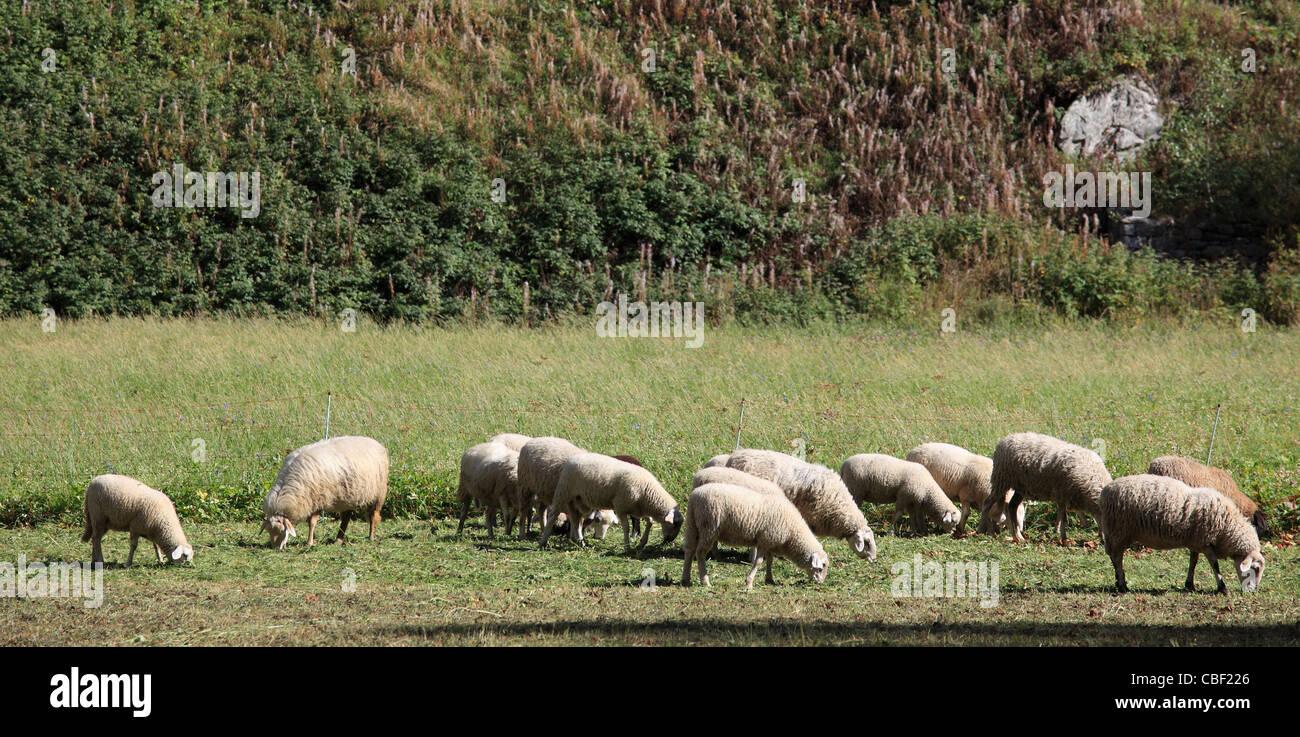 Italy, Alps, Aosta Valley, Val Veny, grazing sheep, - Stock Image