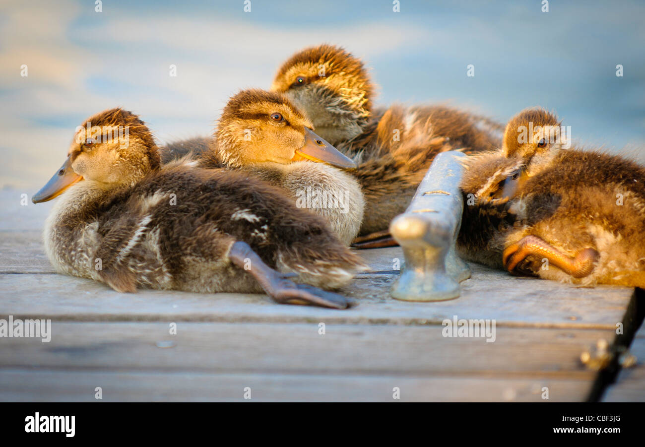 Mallard ducklings, Anatidae anseriformes, warm themselves in the evening sunlight - Stock Image