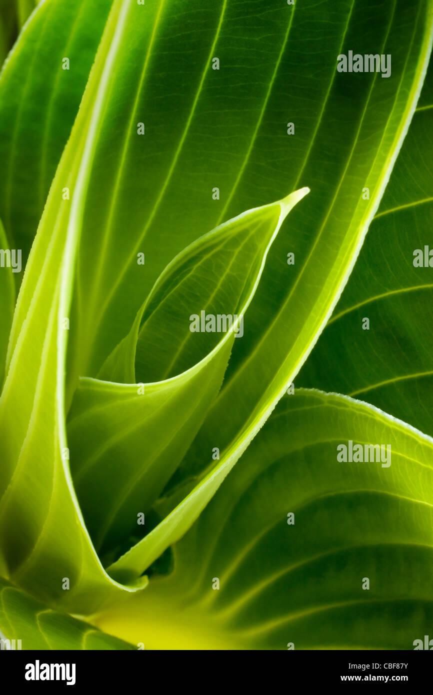 Hosta Cultivar, Green leaf subject. - Stock Image