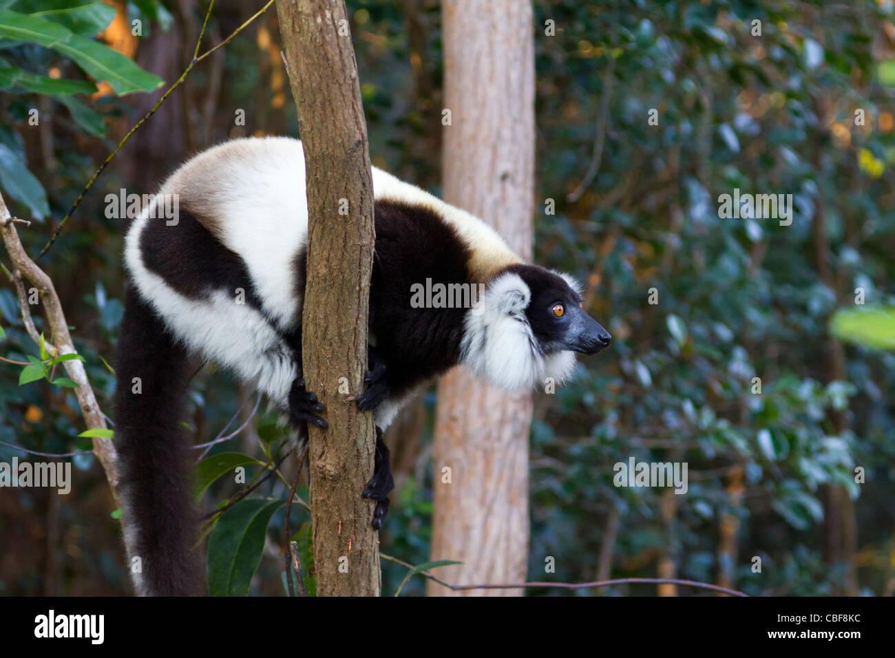 black-and-white ruffed lemur on tree, Andasibe region; Madagascar - Stock Image