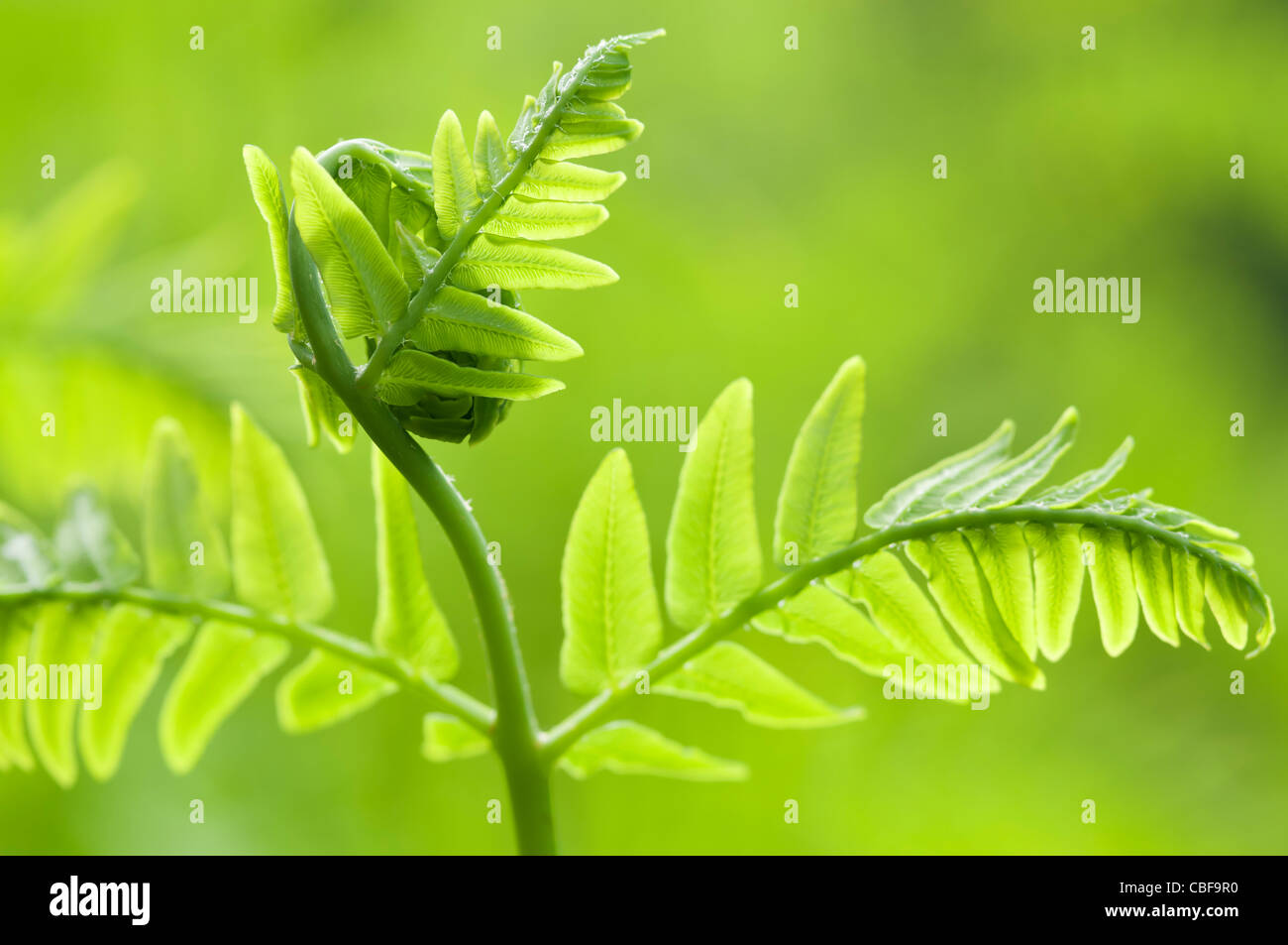 Osmunda regalis, Fern leaf unfurling, Green subject, Green background. - Stock Image