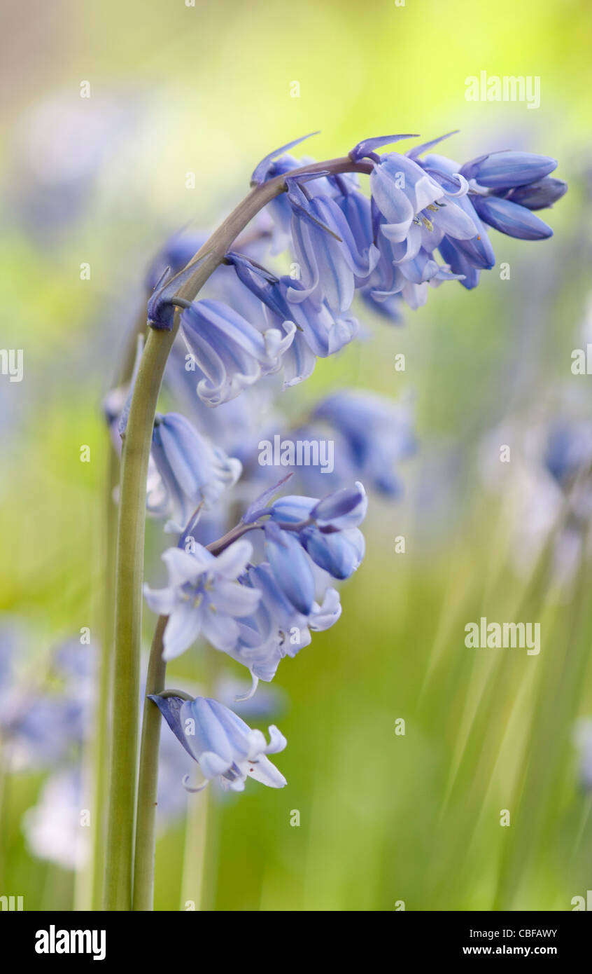 Hyacinthoides non-scripta, Bluebell, English bluebell, Blue flower subject. Stock Photo