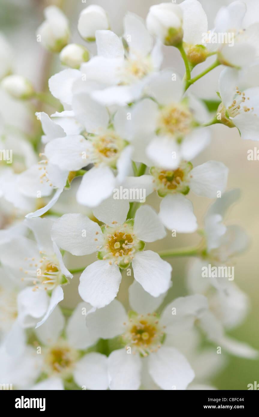 White flower garland stock photos white flower garland stock spiraea arguta bridal wreath white flowers stock image mightylinksfo