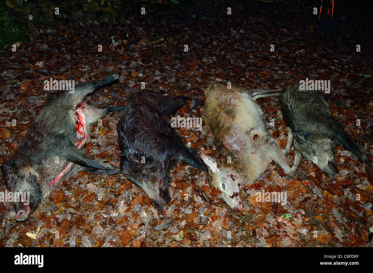 Wild boars and deer hunted, Baerenthal, Parc naturel des Vosges du Nord, Moselle, France - Stock Image