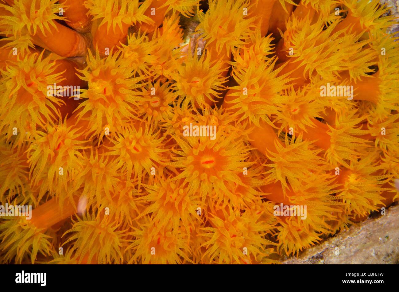 Orange Cup Coral (Tubastraea coccinea), Bonaire, Netherlands Antilles, Caribbean - Stock Image