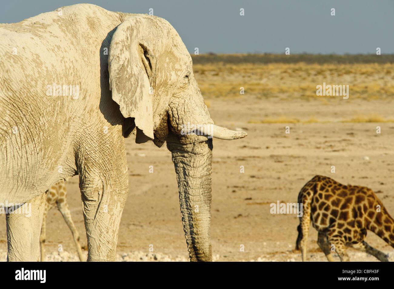Elephant and giraffe at  'Elephant Bath' water hole. Etosha National Park, Namibia. - Stock Image