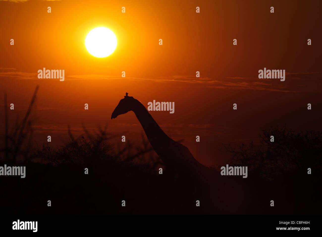 Silhouette of giraffe at sunset.  Etosha National Park, Namibia. - Stock Image